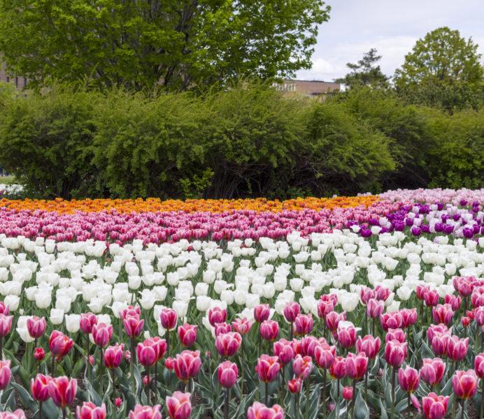 Ontario_tulipfestival