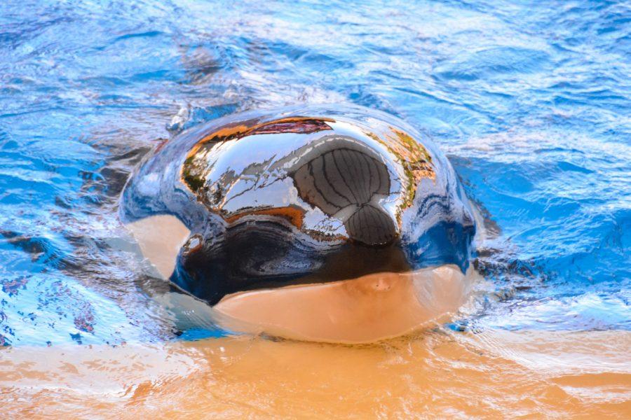 Orca dolphinarium