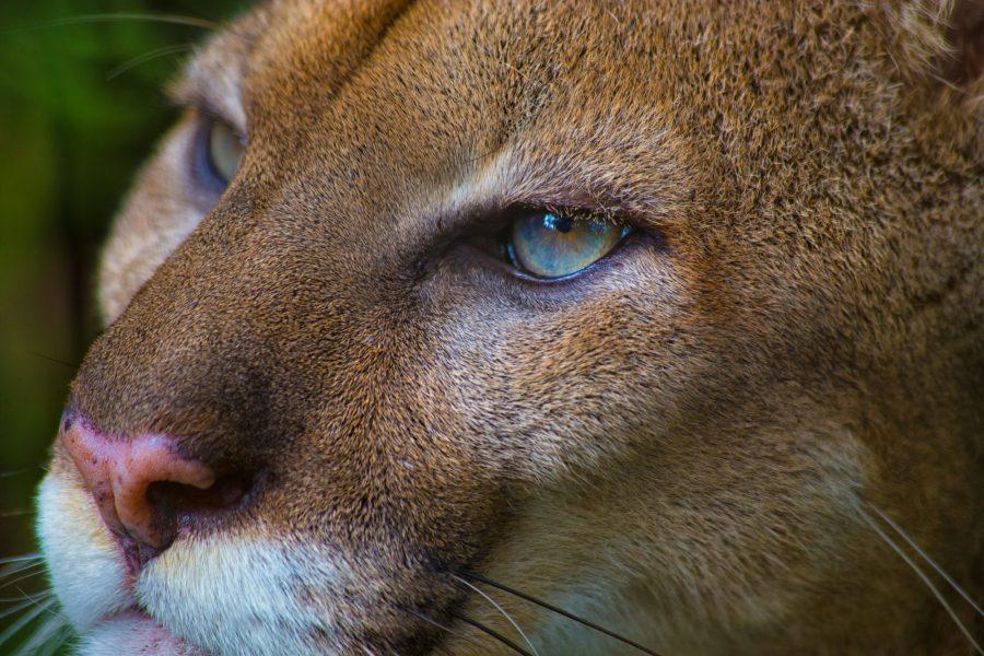 Puma Costa Rica