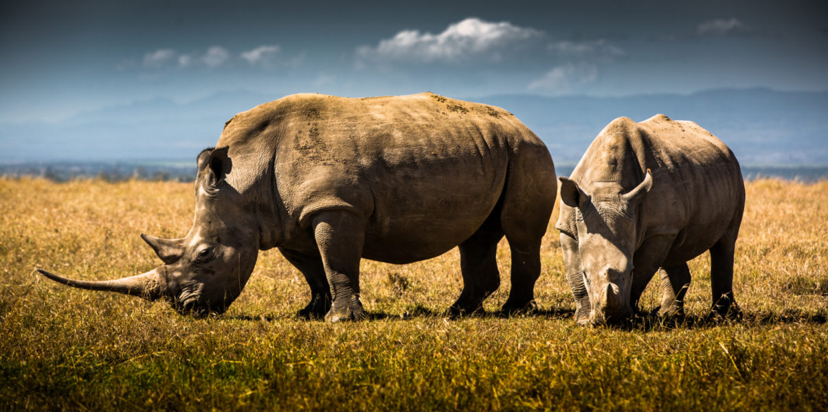 Rhinos-in-Kenya.-Photo-by-Andew-Wegst-for-Wild Aid
