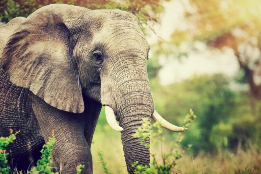 SA_elephant