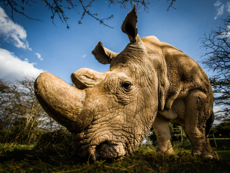 Sudan-the-worlds-last-male-northern-white-rhino-in-Kenya-before-his-death-in-2018.-Photo-by-Andrew-Wegst-for-Wild Aid