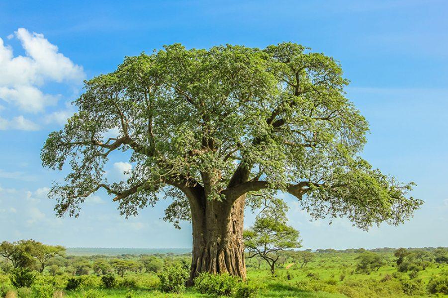 Tanzania Baobab tree in Tarangire National Park lowres