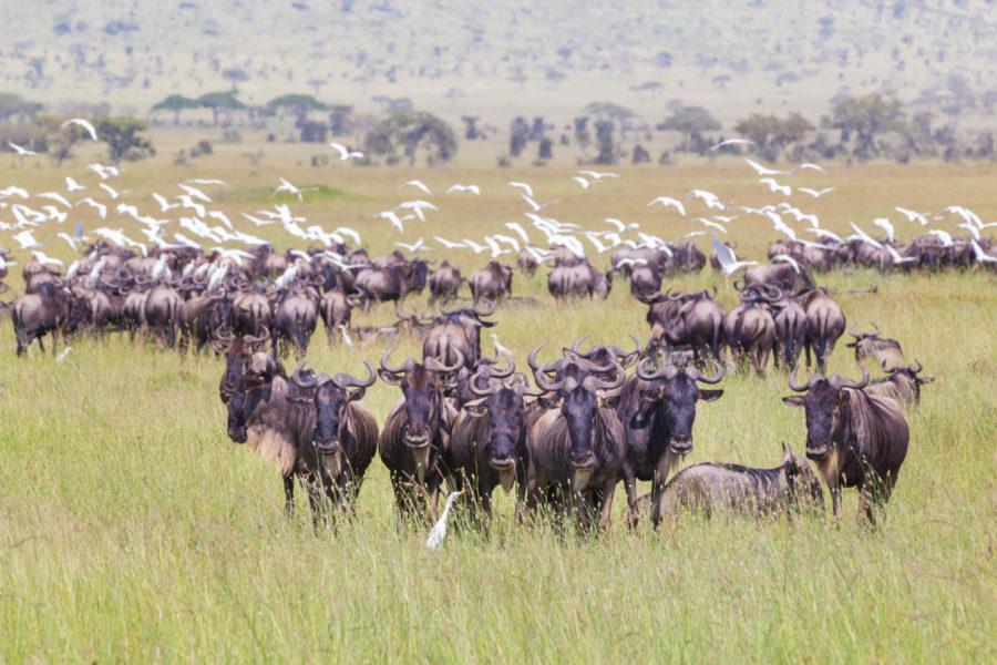 Tanzania_Wilderbeastserengeti2