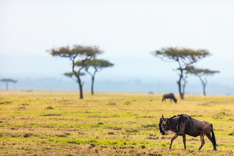 Tanzania solowildebeest