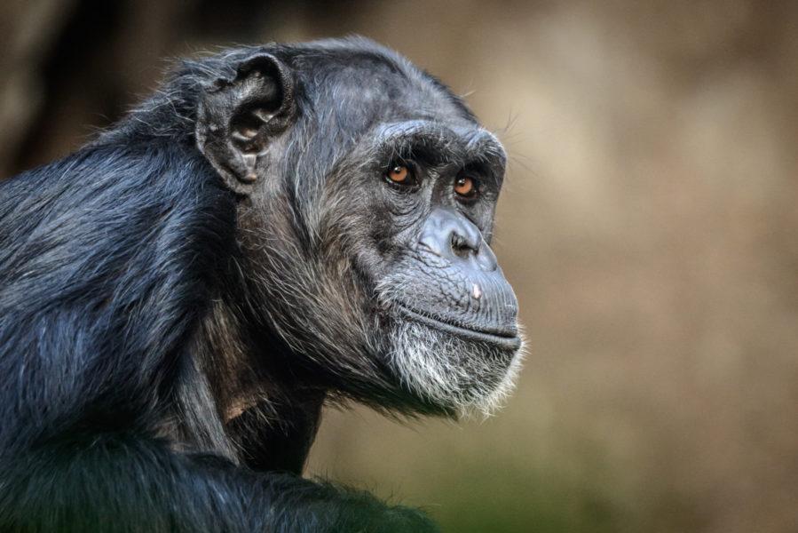 Uganda_Chimpanzee