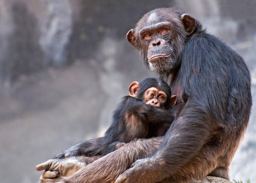 Uganda Chimpanzee cropped