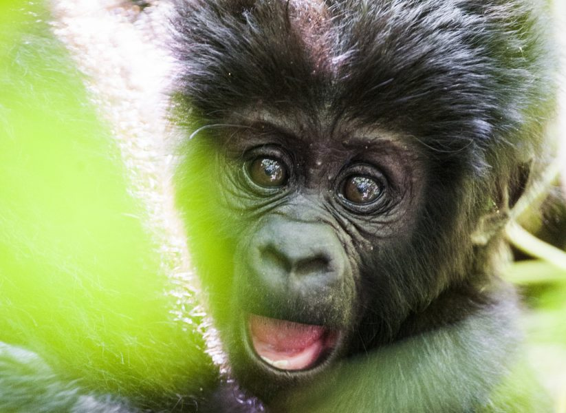 Uganda baby Mountain gorilla2 cropped