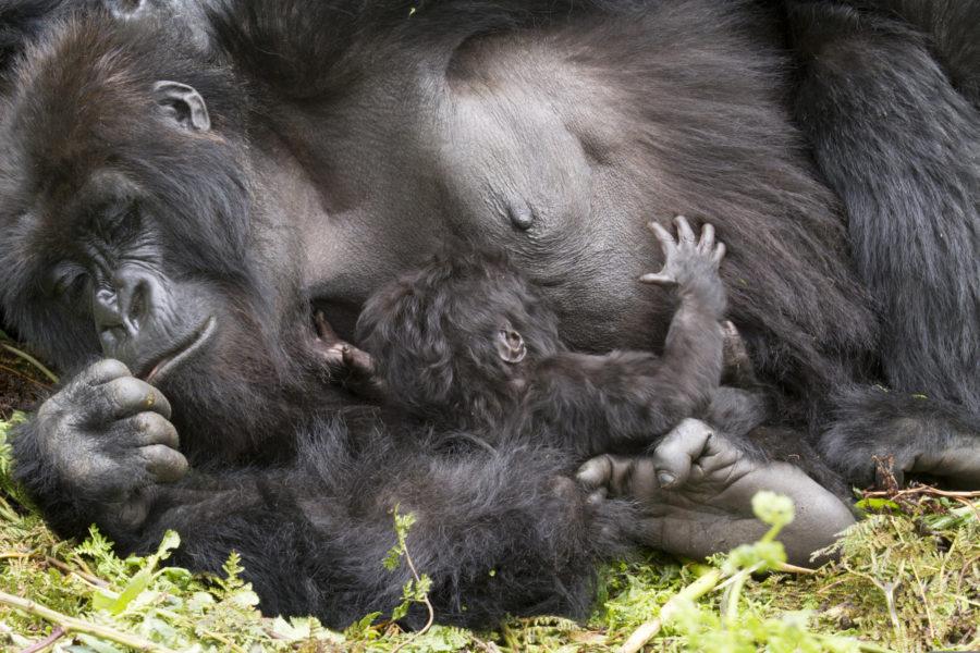 Uganda_gorilla_Biwindi Impenetable-National Park