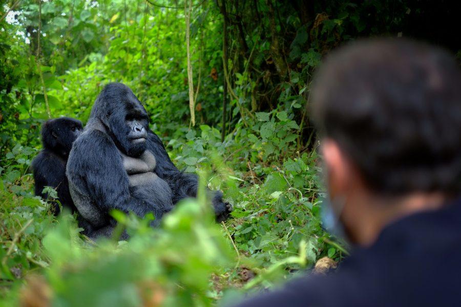Uganda gorilla peopleobserving