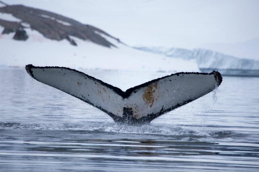 Antarctica-Whale
