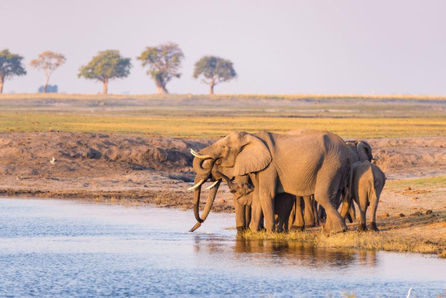 SA_elephants