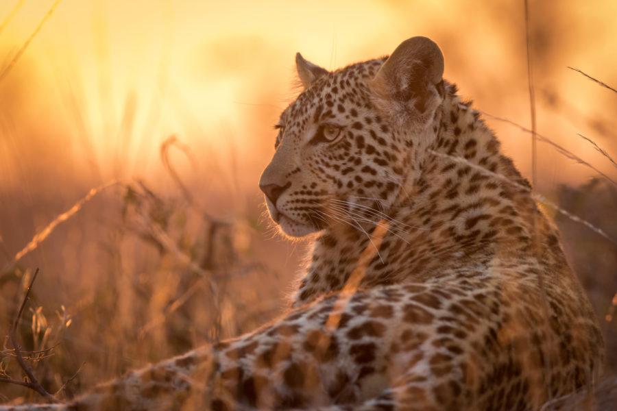 SA_leopard