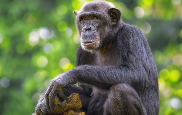 Go chimpanzee tracking in Kibale Forest