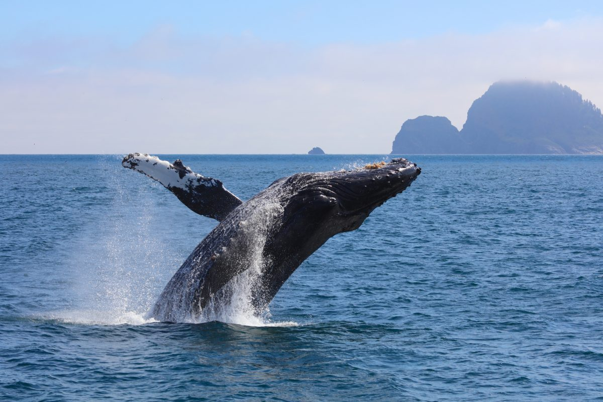 015_Alaska_humpback_lowres