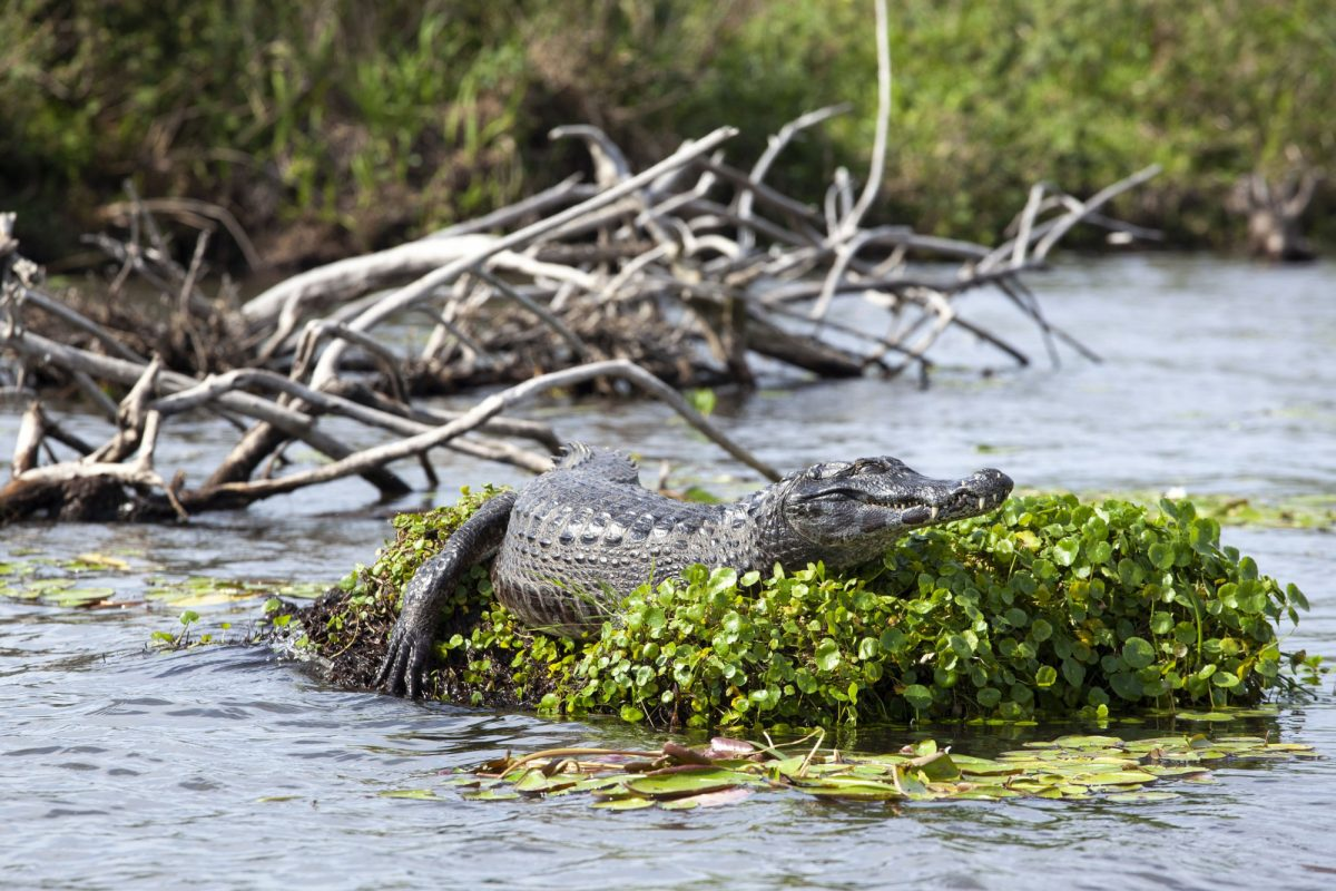 Argentina Esteros de Iberá Dark Alligator