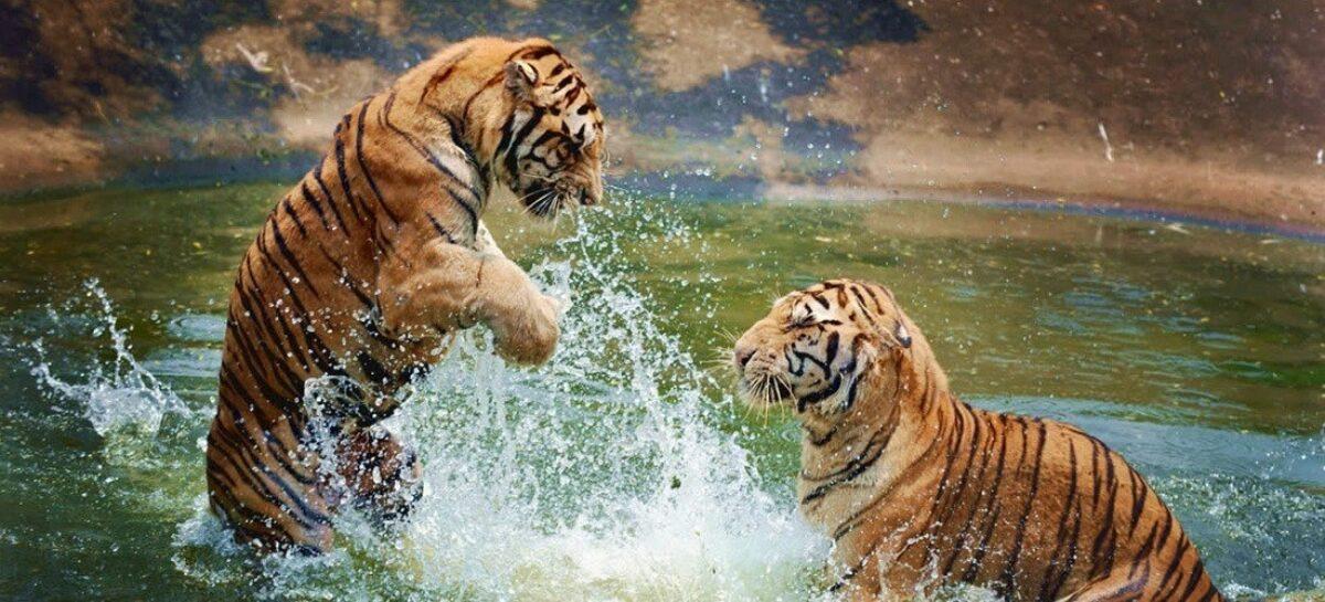 Bespoke India Travel Tigers