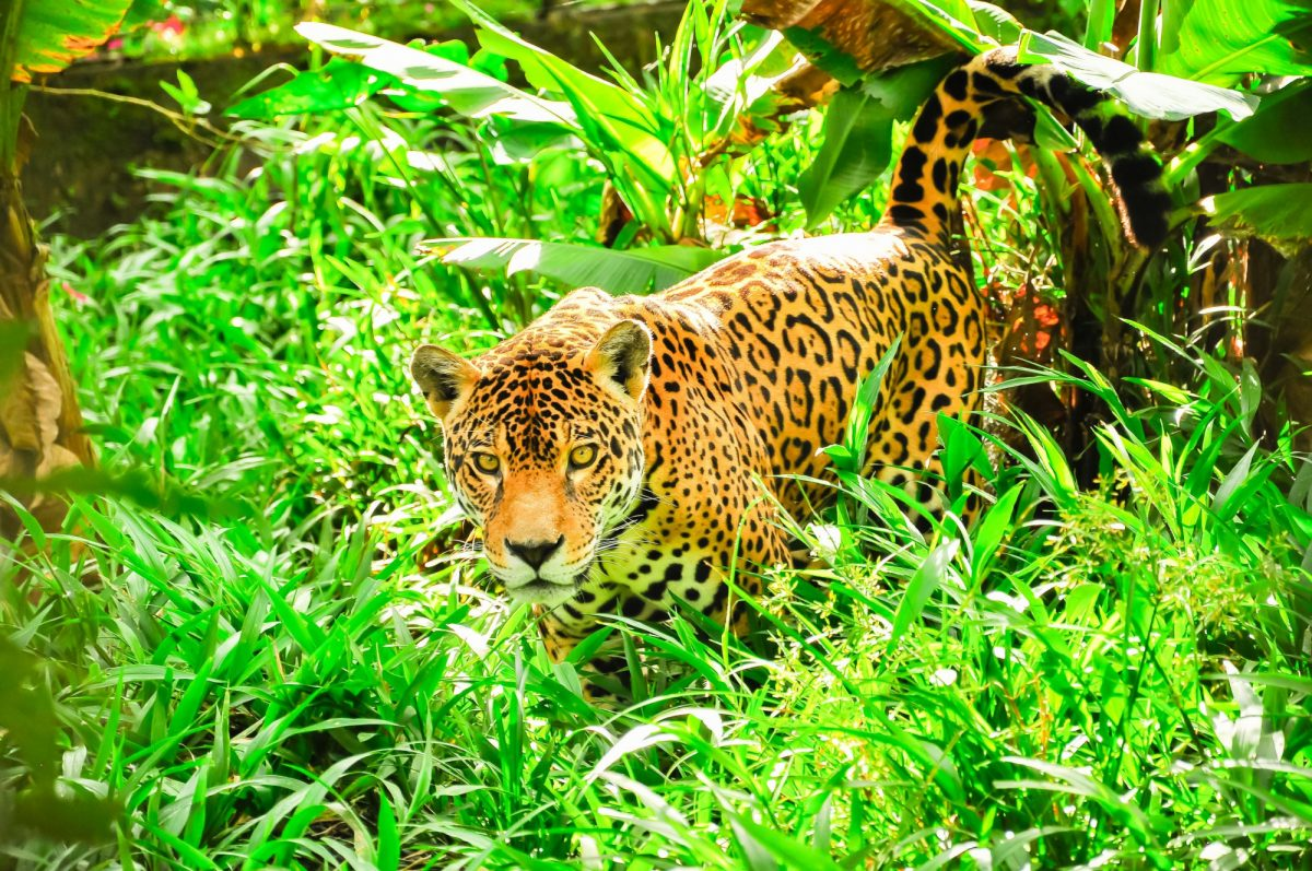 Brazil Amazon Jaguar