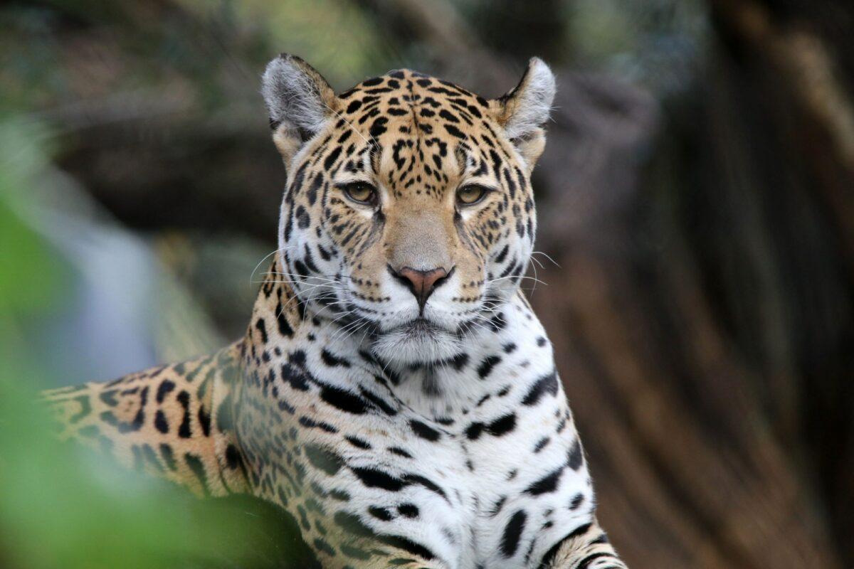 Brazil Pantanal Jaguar4