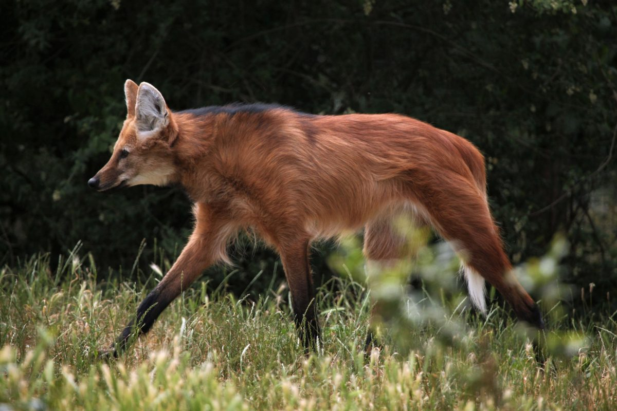 Brazil Pantanal Maned wolf