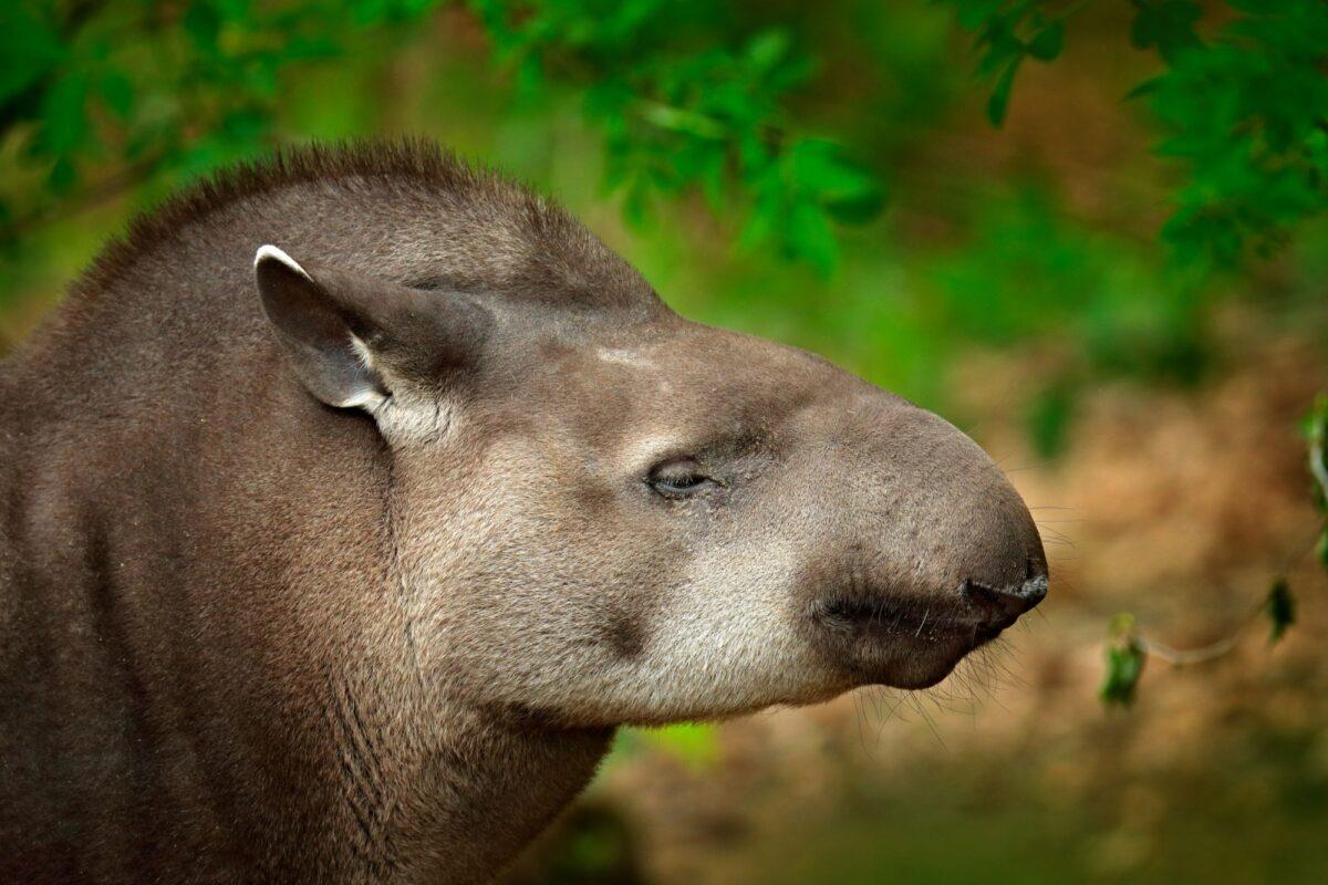 Brazil Pantanal outh American Tapir