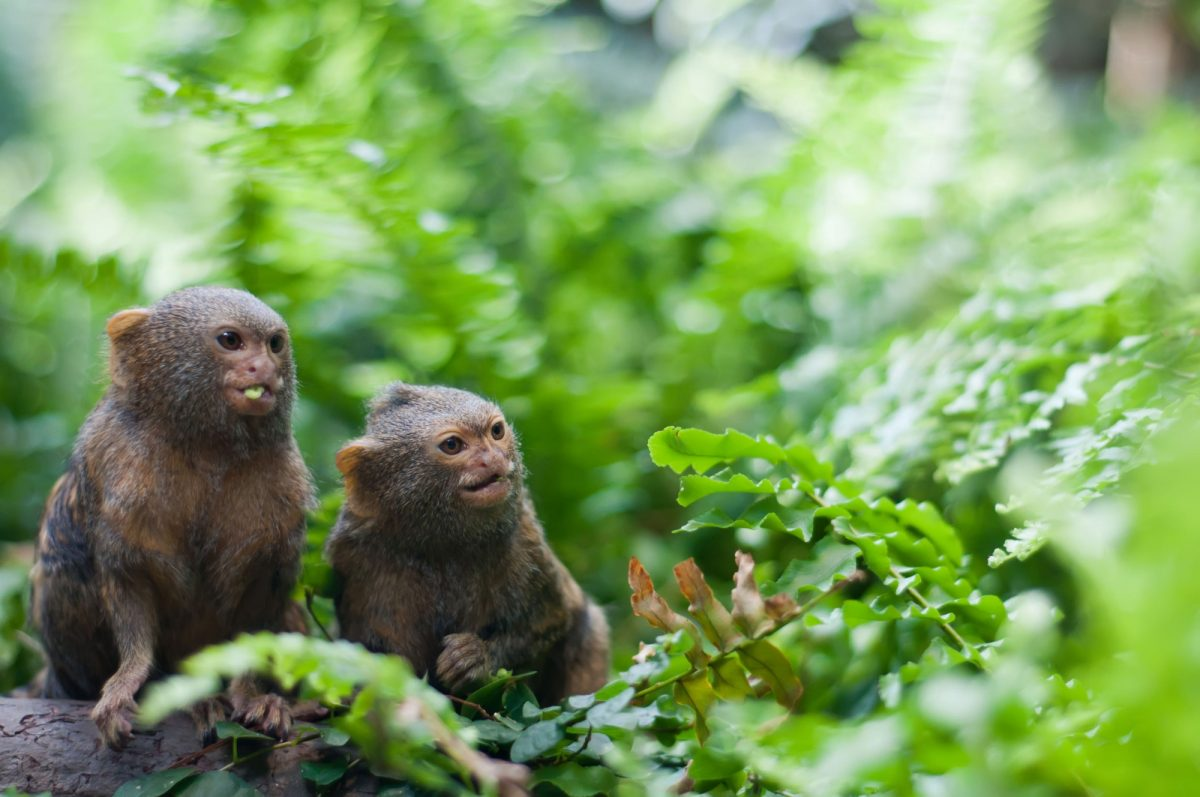 Brazil pygmy monkeys