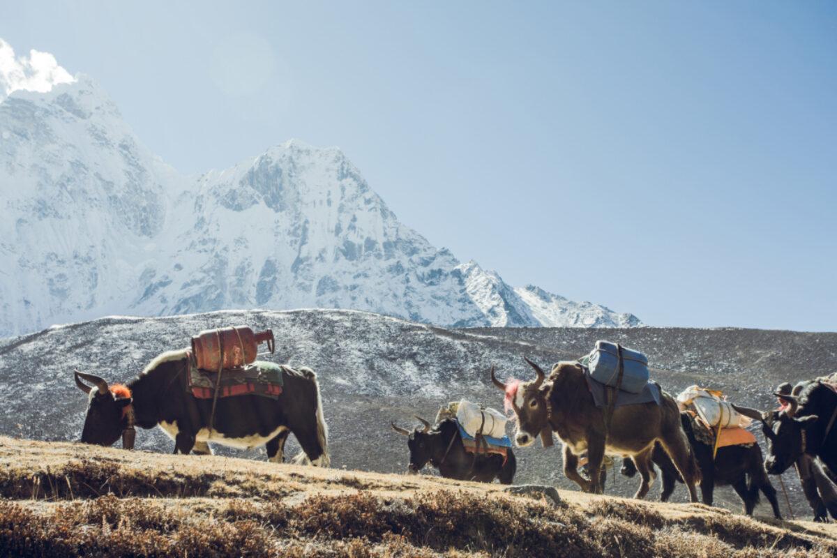 Everest BC trek Yaks lowres