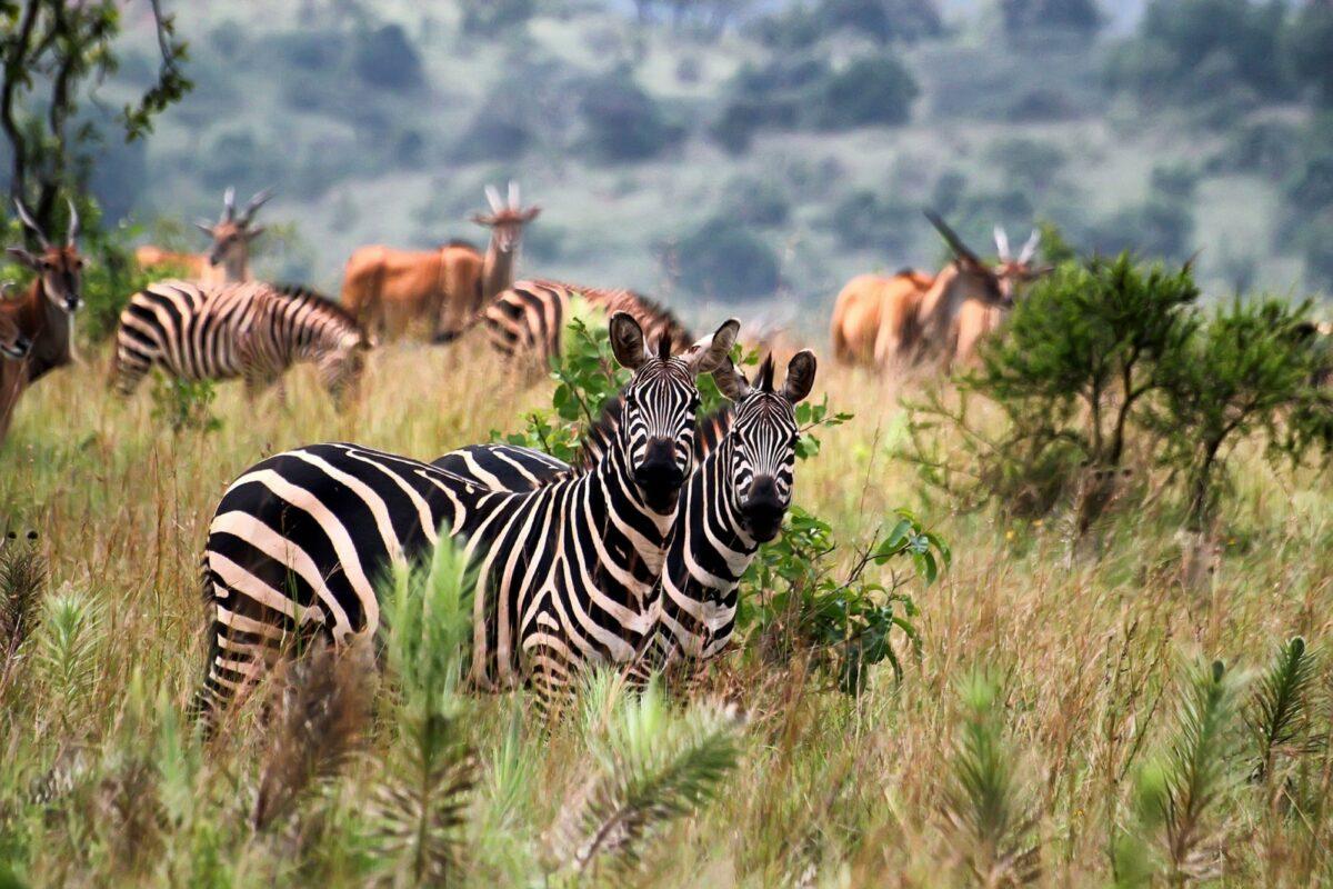 Rwanda Akagera Zebras