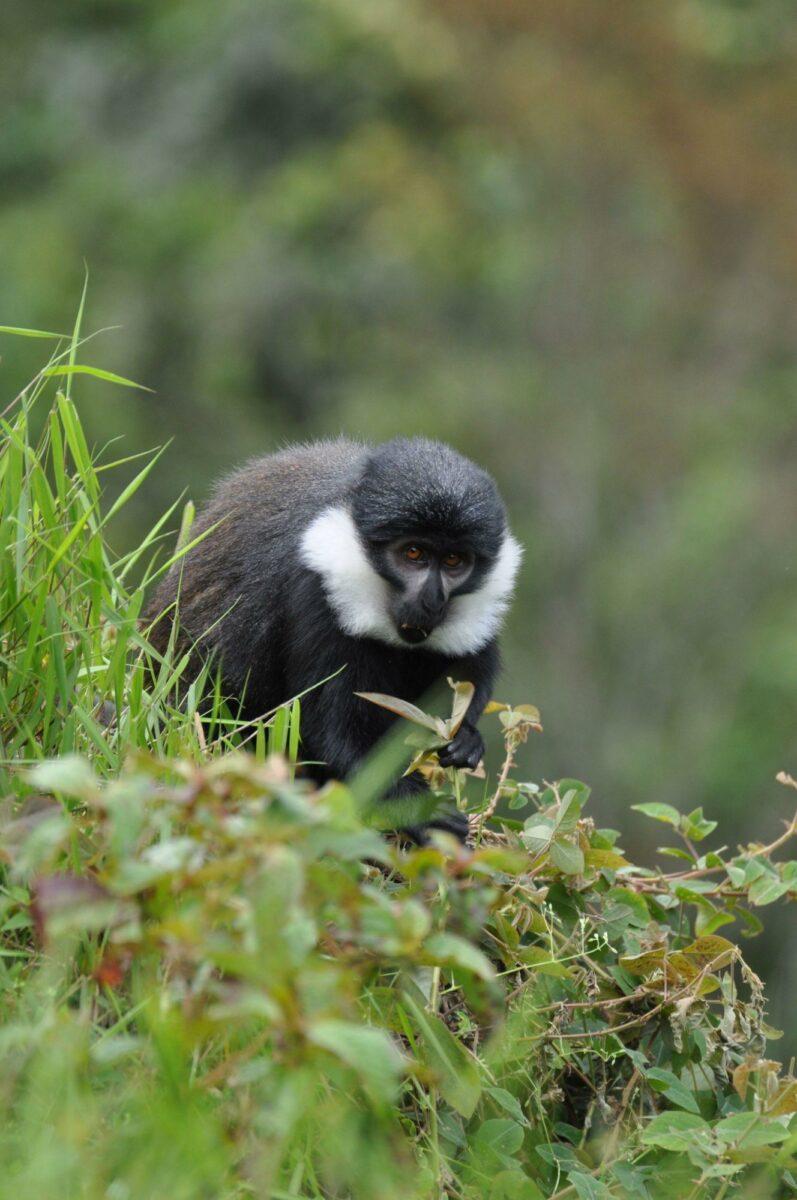 Rwanda Ngungwe L Hoests Monkey