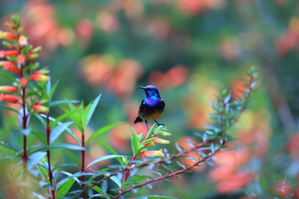 Rwanda Ngungwe Purple banded Sunbird