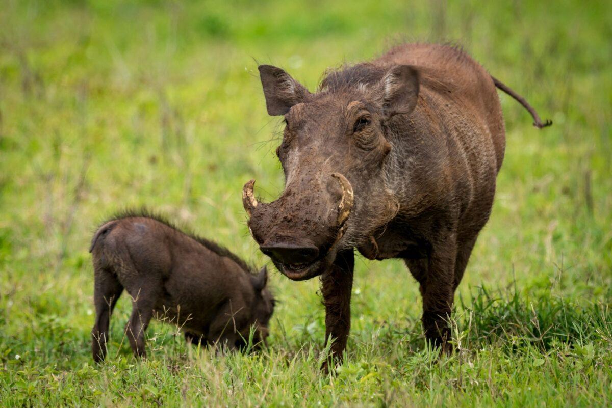 Tanzania Ngoro Ngoro crater warthog