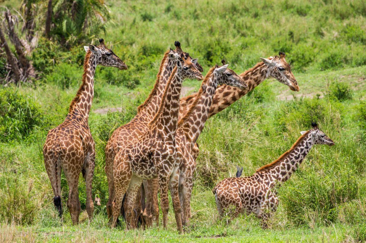 Tanzania serengeti Giraffes