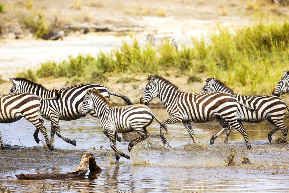 Tanzania serengeti kebra rivercrossing