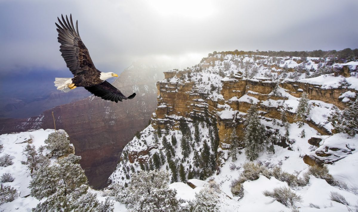 USA Grand Canyon winter baldeagle