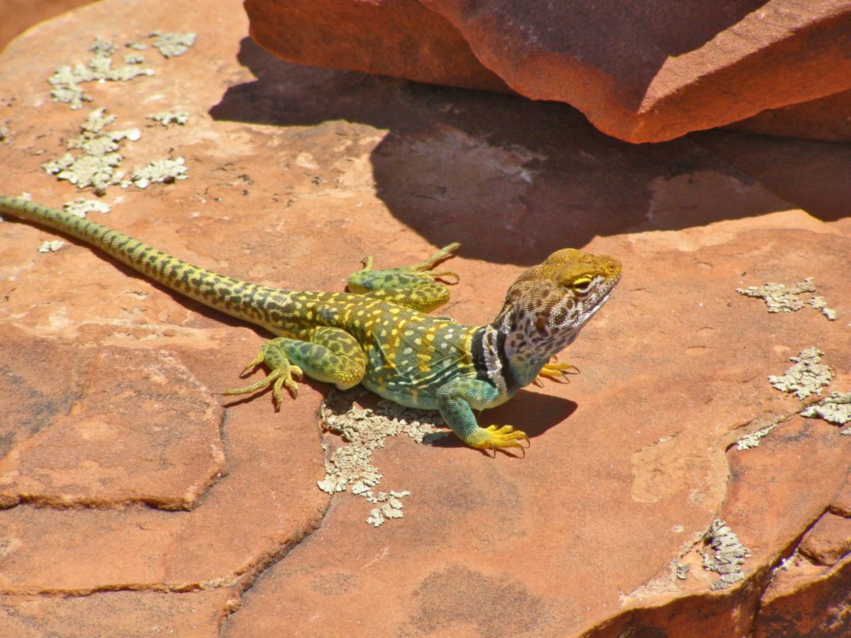USA Sedona A yellow and green collared lizard on a red rock on Doe Mountain