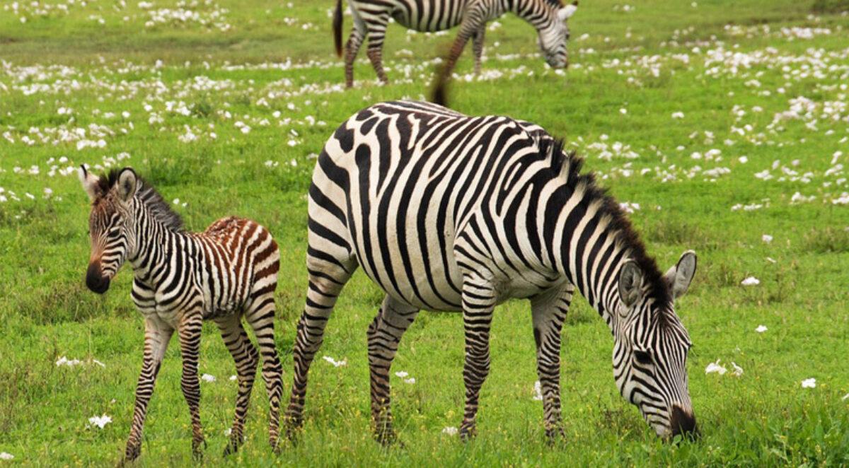 Wild Frontiers Zebra