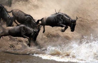 Wildebeest And Waterfalls