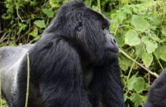 3 Days Rwanda Gorilla Tracking