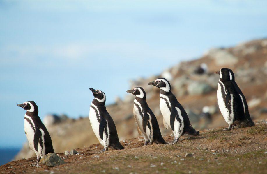 Argentina_penguins