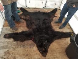 Southeast Alaska Black Bear 2018-01-21