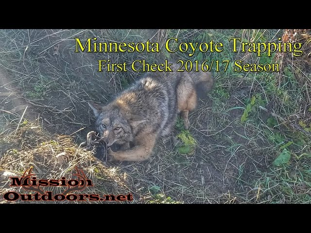 Minnesota Coyote Trapping - MissionOutdoors.Net