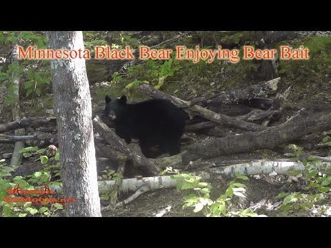 Black Bear Eating Bear Bait - MissionOutdoors.Net