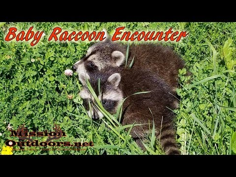Baby Raccoon Talking - MissionOutdoors.Net