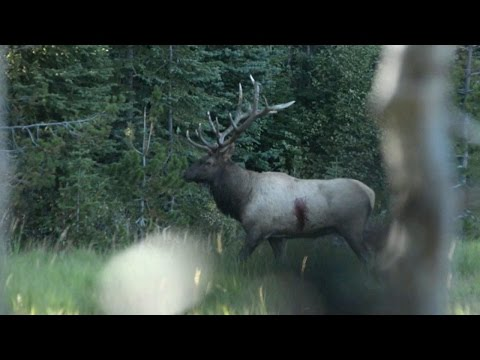 Broadhead vs. Elk - (Craziest Archery Elk Kill Video)