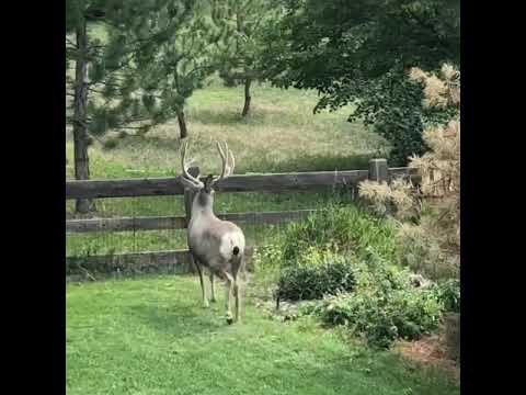 Nice buck in back yard
