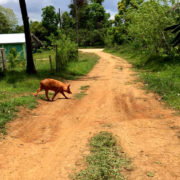 pigs-2