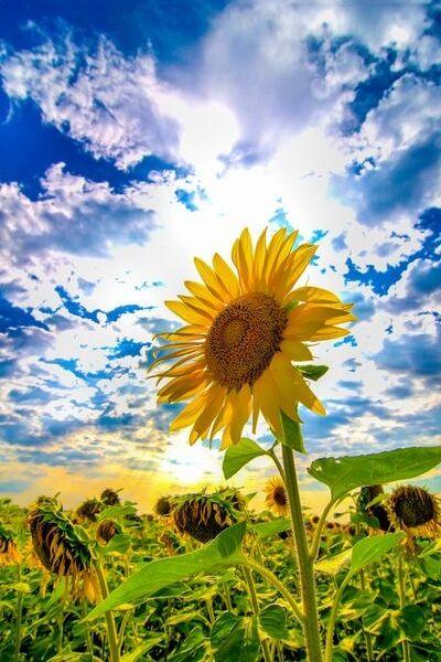 sunflower children care