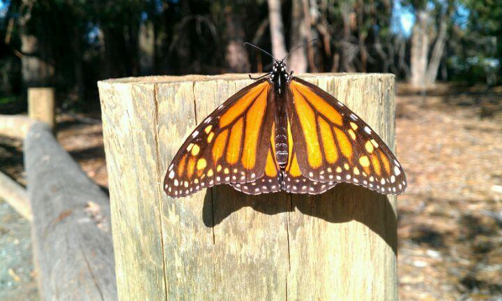Monarch Butterfly Grove, Pismo Beach park