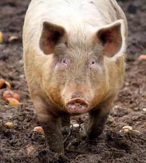 Skin-on Pasture Pork Hocks