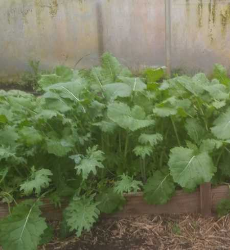 Mixed Garden Kale